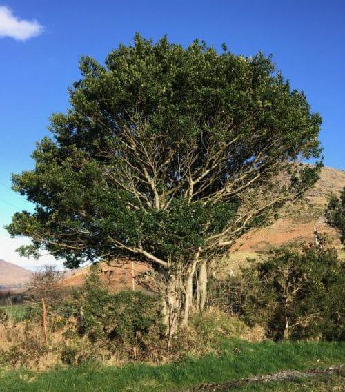 Hulstboom in Clogherane, Lauaragh, Ierland